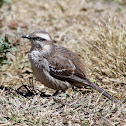 Sabiá-do-campo (Chalk-browed Mockingbird)