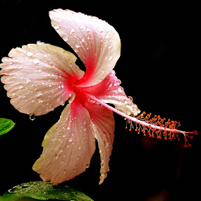 Droplets by SANGEETA MENA  - Flowers Flowers in the Wild (  )