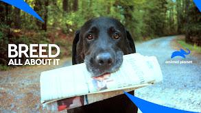 Mastiff thumbnail
