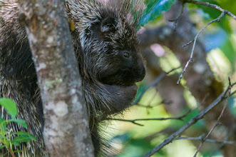 Photo: Porcupine eating tree leaves near Mendenhall Glacier