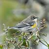 Myrtle warbler (female)