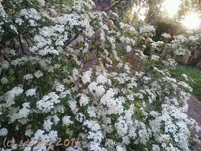 Photo: Spirea,, a favorite spring plant, blooming to remind me of my childhood. I am grateful for the fragrance.