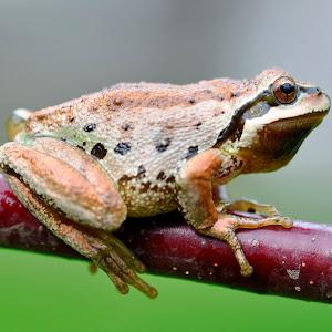 Frog on a Branch.JPG