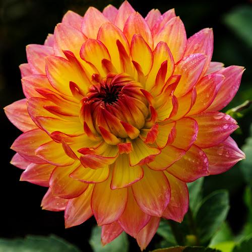 Daisy by Merina Tjen - Lim - Nature Up Close Flowers - 2011-2013 ( dahlia; daisy; red; yellow; garden )