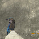 Indo-Chinese Roller