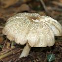 Megacollybia Mushroom