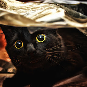 The curious by Veronica Gafton - Animals - Cats Portraits ( cats, black, eyes )