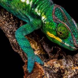 Chameleon by Garry Chisholm - Animals Reptiles ( macro, chameleon, nature, reptile, lizard, garry chisholm )