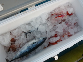 Photo: 釣果です。 サメに喰われて、枚数増えませんでした。