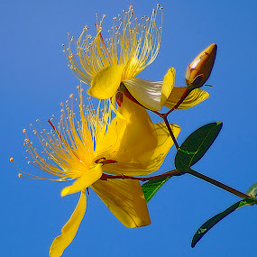 Blue Skies. by Dave  Horne - Flowers Tree Blossoms