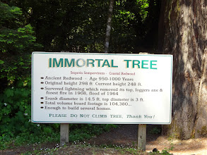 Photo: Immortal tree - Tree in the previous picture -@Avenue of the Giants