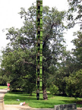 "Photo: This photographic technique ""stacks"" a person standing next to it to estimate height. At 5' 10"" tall, an estimated 7.8 ""Pete's"" amounts to 45.5 feet for this jujube.... Not bad!"
