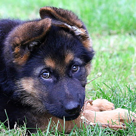 Doing What Puppies Do! by Chrissie Barrow - Animals - Dogs Puppies ( grass, cream, portrait, eyes, fluffy, pet, ears, fur, twig, puppy, paws, german shepherd, dog, nose, black, tan )