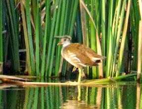 Photo: 撮影者:福本 健 バン タイトル:ひょうたん池に鳥が戻る2 観察年月日:2014年7月31日 羽数:1羽 場所:多摩川多摩大橋下流ひょうたん池 区分:行動 メッシュ:立川0C コメント:ひょうたん池にバンの幼鳥がいた。これからいろいろな鳥がやってくるのが期待できる。