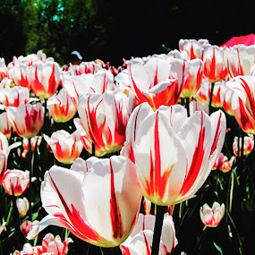 Tulip Festival  by Ginny Serio - Flowers Flower Gardens ( #pepeerminttulips,  )