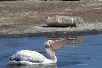 Photo: Juvenile White pelican