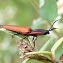 Lycid mimic click beetle