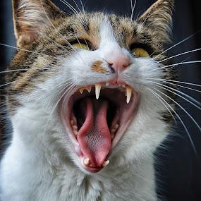 grrrrr.....!!!! by Almasa Dalan - Animals - Cats Portraits ( #GARYFONGPETS, #SHOWUSYOURPETS )
