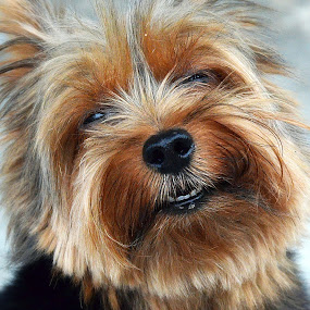 Cut my hair, please! by Tupu Kuismin - Animals - Dogs Portraits ( terrier dog cute pets face brown potrait, pwc84 )