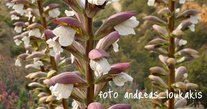 Photo: ΑΚΑΝΘΑ Η ΑΚΑΝΘΩΔΗΣ acanthus spinosus ΚΑΛΟ ΧΩΡΙΟ
