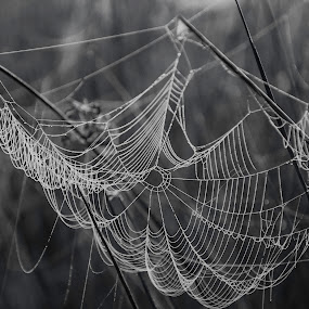 by Patti Cooper - Nature Up Close Webs ( web, spider web,  )