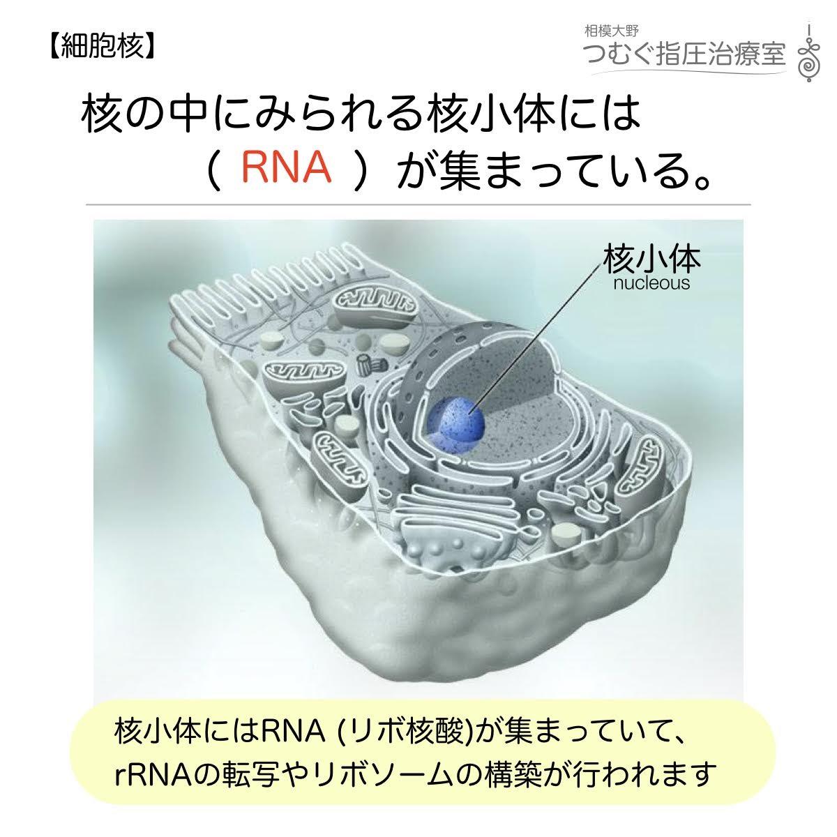 核の中にみられる核小体にはRNAが集まっている
