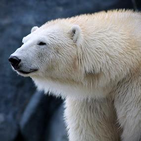 Lounging Around by Jen Weller - Animals Other Mammals ( animals, winter, nature, polar bear )