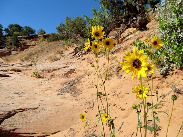Sunflowers at the head of a small canyon