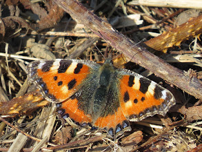 Photo: Nedge Hill Another butterfly showing signs of wear suggesting it too hibernated locally: a Small Tortoiseshell, most easily confirmed by the blue dots along the wing-edges (though there are no real confusion species). (Ed Wilson)
