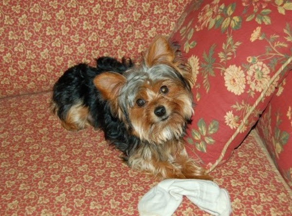 11. My sweet little Yorkie (4) General Oliver Stonewall Gray ! tee hee We...
