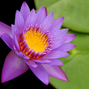 Violet Lily by Anastasiya Manuilov - Flowers Flowers in the Wild ( pond, canada, lily, violet, yellow, flower )