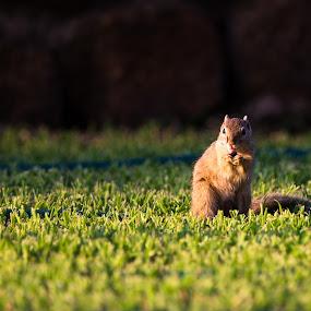 by Dawie Nolte - Animals Other ( squirrels, grass, green, eating, squirrel,  )