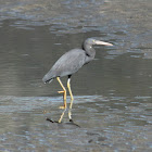 Eastern Reef Egret (Grey Morph)
