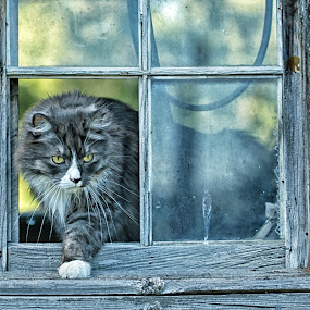 No Pane in the Window by Twin Wranglers Baker - Animals - Cats Portraits (  )