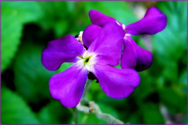 Violette di sole62