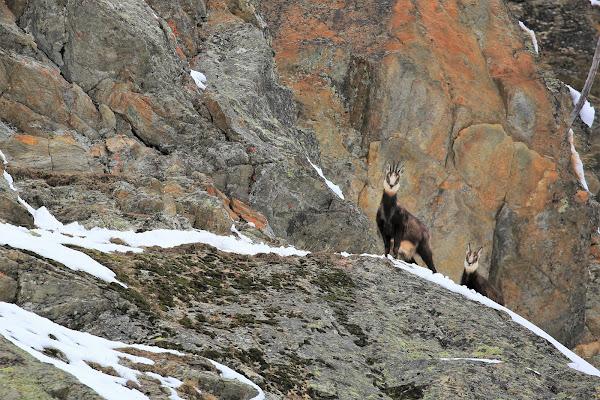 Camosci delle alpi di ScrofaniRosaria