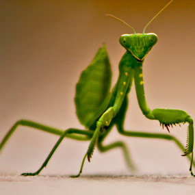 Mantis by Arslan Mughal - Animals Insects & Spiders