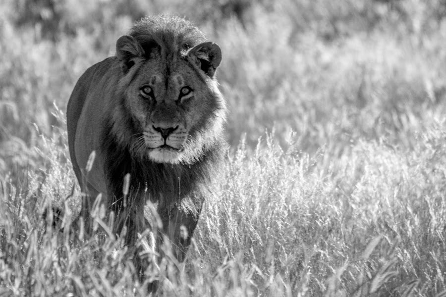 Lion of the Kalahari by Ferdie Wolfie Malherbe - Animals Lions, Tigers & Big Cats (  )