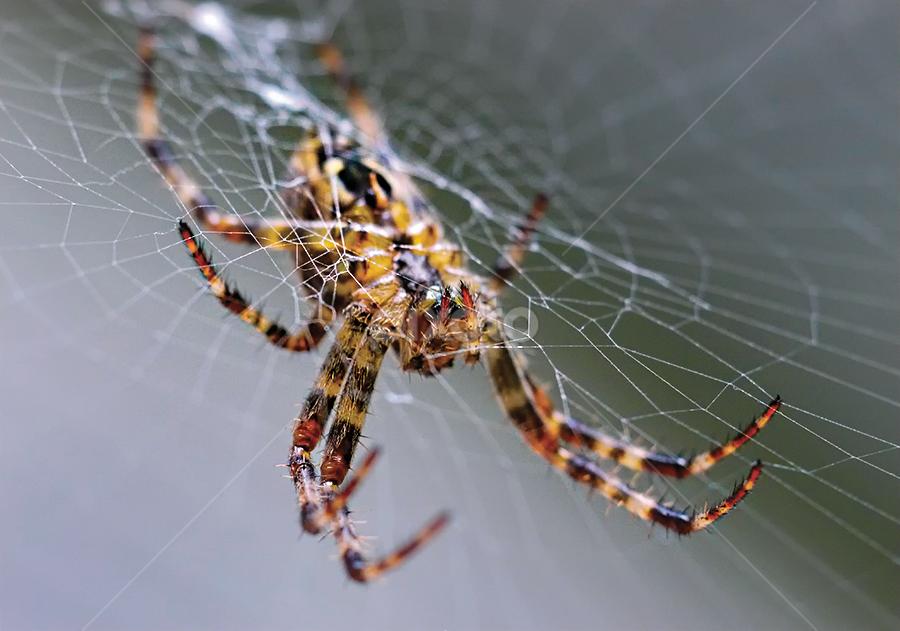 by Marianna Armata - Nature Up Close Webs ( macro, spider, web, marianna armata, garden )