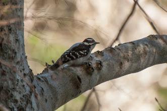 Photo: Downy Woodpecker (Dunenspecht); Wolfville, NS
