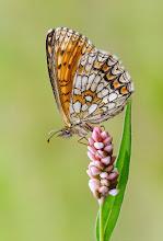 Photo: Melitaea athalia, Mélitée du mélampyre ou Damier Athalie, Heath Fritillary  http://lepidoptera-butterflies.blogspot.fr/