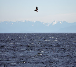 Photo: A bald eagle flies over the Georgia Strait with the Sunshine Coast in the background