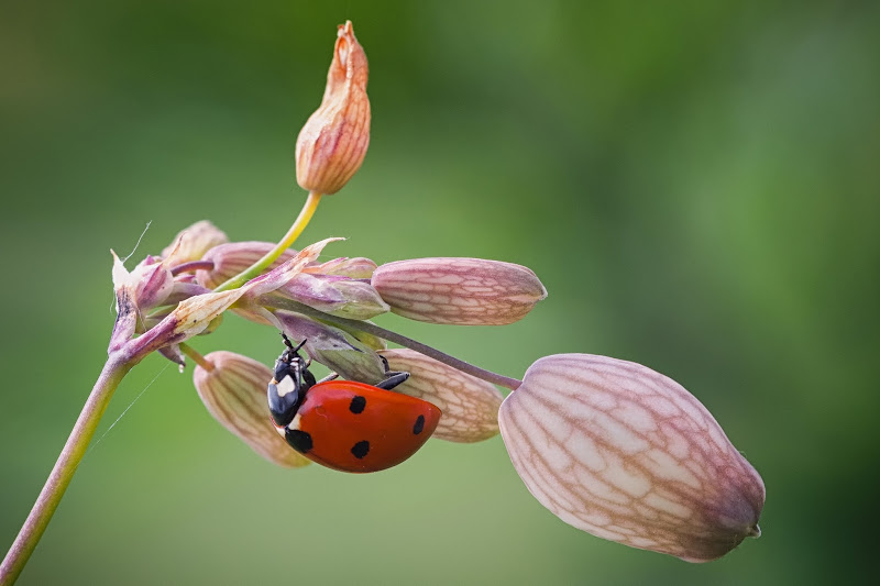 Ladybug di Barbara Surimi