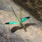 Oriental Green-wing (male)