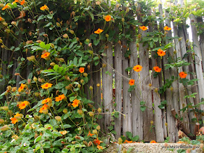 Photo: Flowers and fence, Nepenthe restaurant, Big Sur