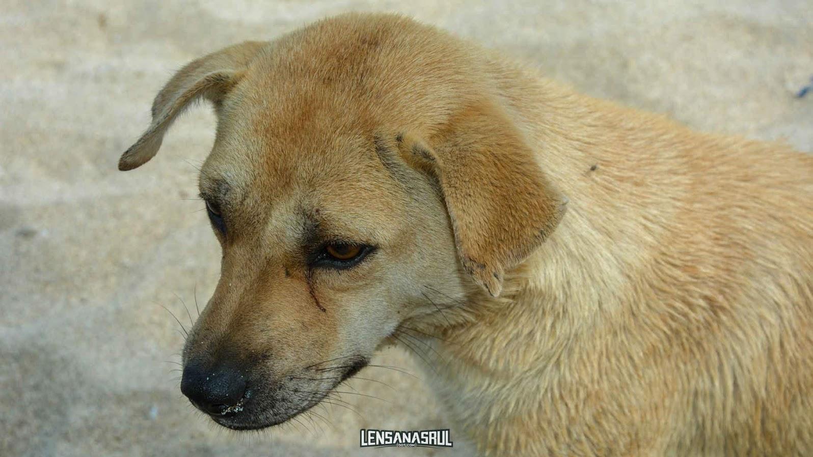 Anjing di pantai mawun lombok
