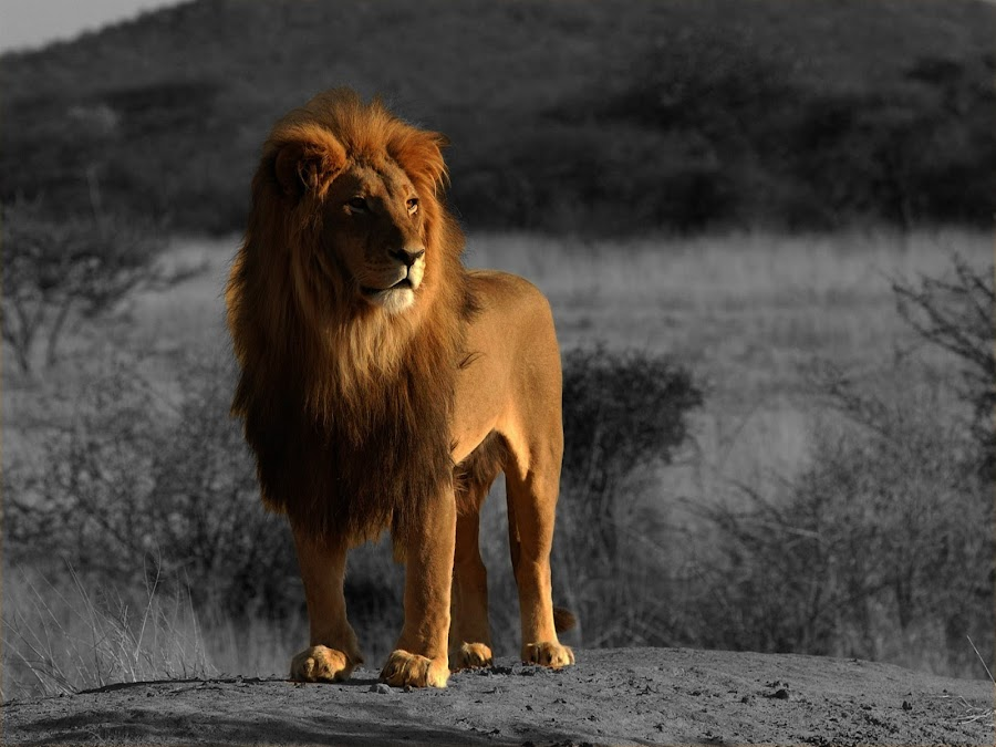 Lion King by Nnamdi Chimezie - Animals Lions, Tigers & Big Cats ( lion )