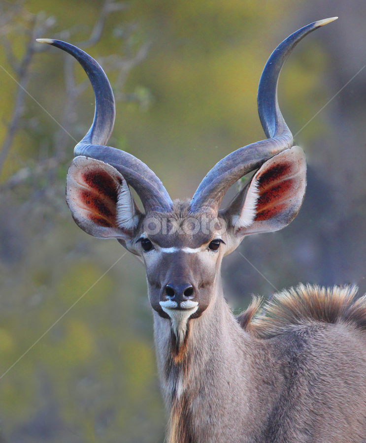 Kudu Bull by Neal Cooper - Animals Other Mammals ( south africa, kudu bull, neal cooper )