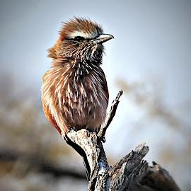 Purple Roller  by Pieter J de Villiers - Animals Birds
