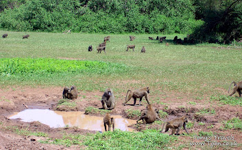 Photo: Baboons